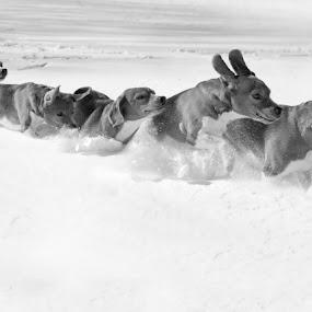 1.111 sec by Mick Brinkmann - Animals - Dogs Running ( pwc84 )