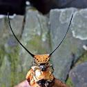 Long-horned Orbweaver