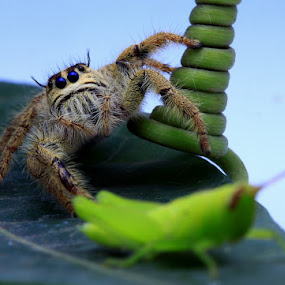 by Rizal Meilano - Animals Insects & Spiders ( macro, spider, insect,  )