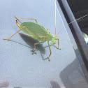Katydid Grasshopper