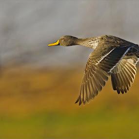 Yellow billed duck in-flight by Johann Harmse - Animals Birds ( bird, nature, action, duck, in flight,  )