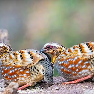 DSC_3738-Rufous Partridge pair.jpg