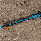 Common Blue Damselfly
