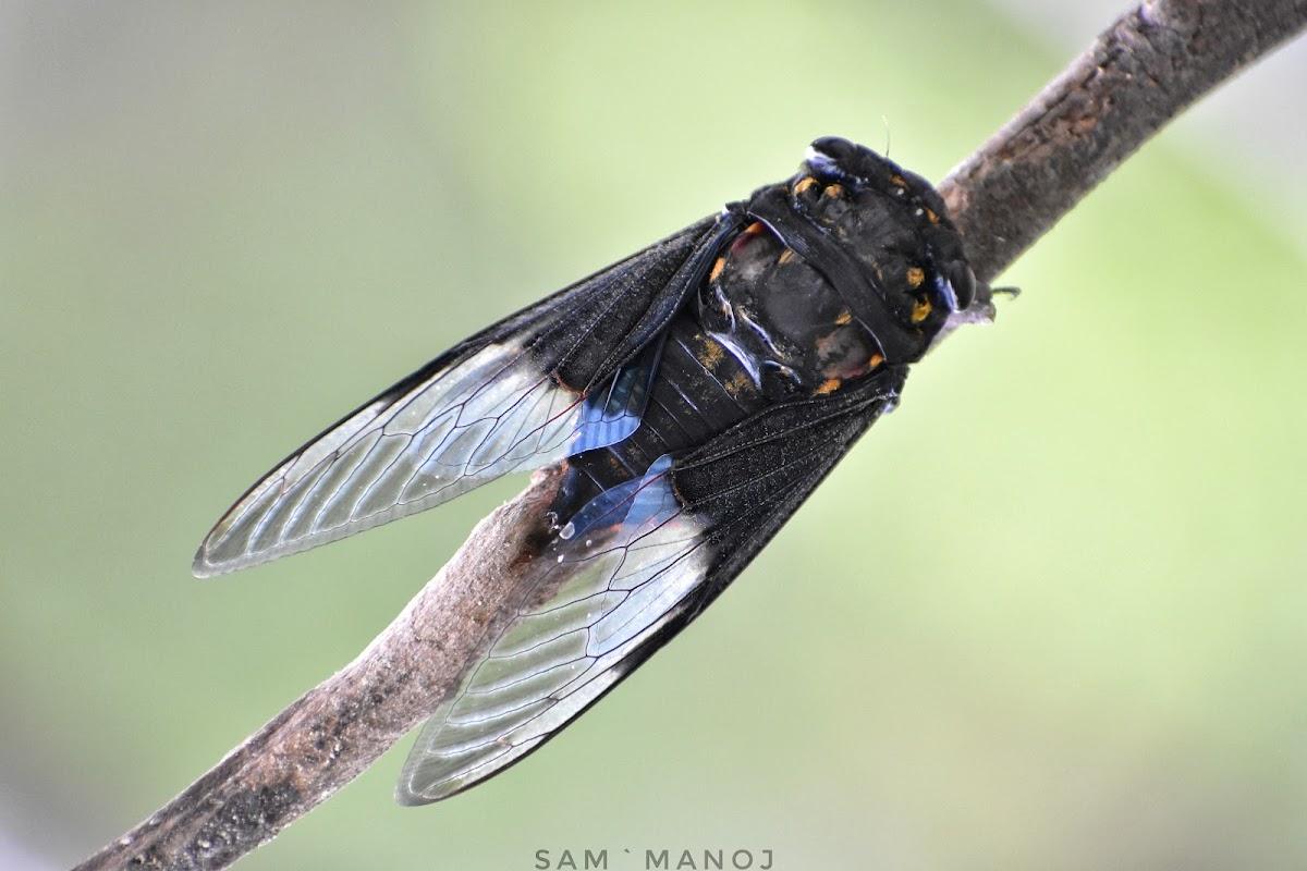 Cicada / झ्याउकिरी