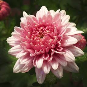 PInky Aster by Benyamin Kristiawan - Nature Up Close Flowers - 2011-2013 ( pink flower, macro, aster )