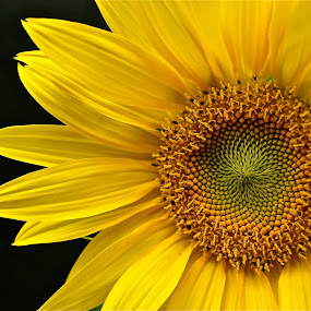 SUNFLOWER by Udo Weber - Nature Up Close Flowers - 2011-2013 ( pattern, sunflower, yellow, flower, close )