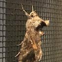 Common Looper Moth