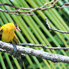 Yellow by Premtawi Thinkfoto - Animals Birds