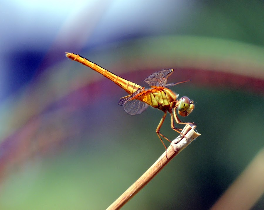 Blue And Gold by Kevin Rapuano - Animals Insects & Spiders ( nature, wildlife, dragonfly )