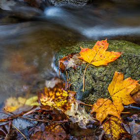 Survivors by Trent Sluiter - Nature Up Close Leaves & Grasses ( canon, fall leaves on ground, fall leaves, dundas, pwcfallleaves, 7d, 2012, trent sluiter, webster falls, ontario, photo, photography )