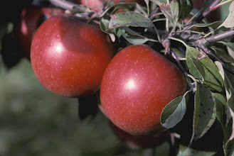 "Photo: 'Haralson' apple developed by University of Minnesota, Agricultural Experiment Station.  Released in 1922. A tart apple used for fresh eating and cooking, ripens first 10 days of October in Minnesota.   Minnesota Agricultural Experiment Station project #21-016, ""Breeding and Genetics of Fruit Crops for Cold Climates."""
