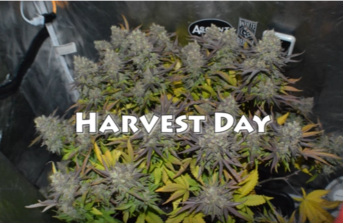 how to harvest medical marijuana