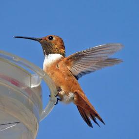 by Michelle Hunt - Animals Birds ( birds, hummingbirds )