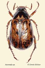 Photo: Anomala sp. (2), 14 mm, Costa Rica, Mirador de Quetzales (09°38´/-83°50´), leg. Erwin Holzer, det. Angel Solis