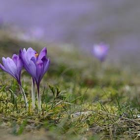 Crocus 0469 by Jani Novak - Flowers Flowers in the Wild