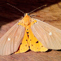 Tropical Tiger Moth