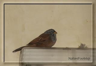 Photo: Hussparv - Emberiza sahari - House Bunting - Bruant du Sahara http://nfmoroccobirds.blogspot.se/2012/11/hussparv-emberiza-sahari-house-bunting.html