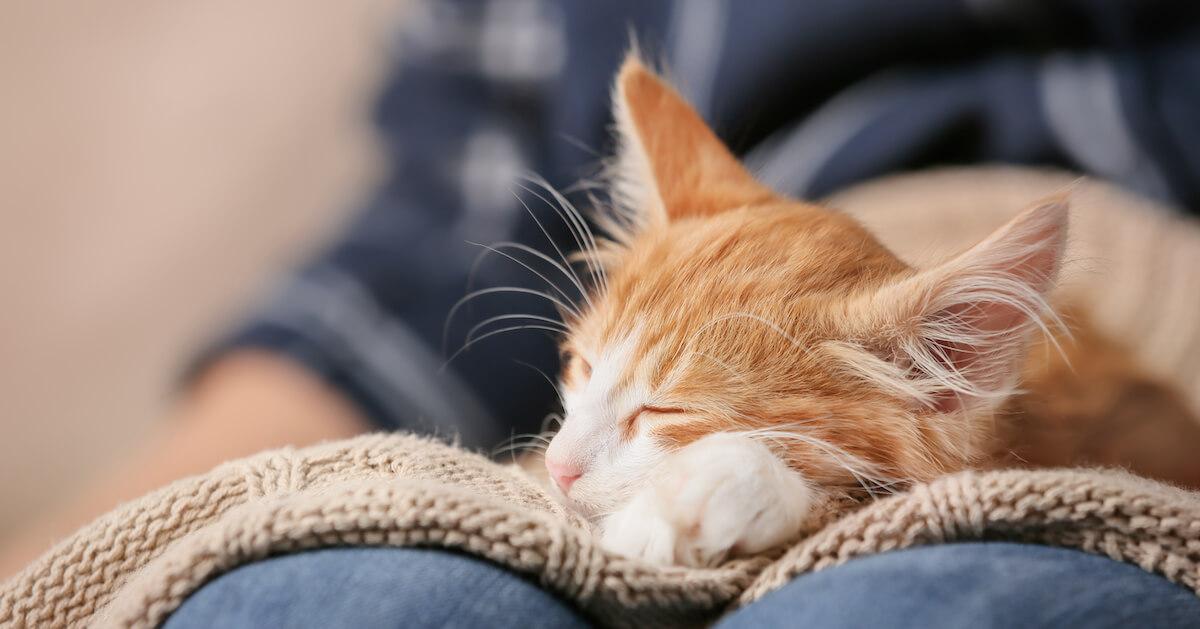 Ginger cat snuggled on human