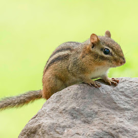 Chipmunk on a Rock by Kathy Jean - Animals Other Mammals ( close up, cute rodent, chipmunk, rodent, animal )