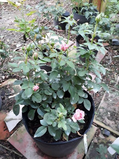 Hình ảnh chậu hoa hồng Tera nở hoa đợt 2 tại vườn