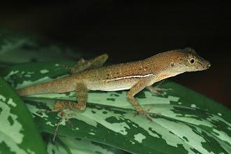 Photo: 8 Norops polylepis, Esquinas Rainforest (08°42´/-83°12´), 02.07.2008, Author & det. Erwin Holzer