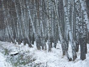 Photo: Берёзовая аллея в Ашукинской