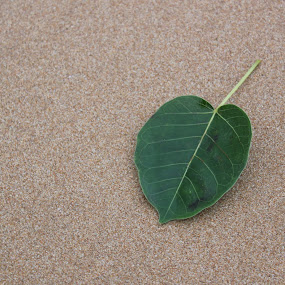Leave on the beach by Pathum Herath - Nature Up Close Sand ( isolated, unique, sandy beach, colorful, green leaves, green, beach, classical, leave, tree, nature, brownish, banyan tree, lonely )
