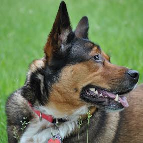by Vicki Switala Riley - Animals - Dogs Portraits ( husky, white, black, shepherd, portrait, brown, dog, summer,  )
