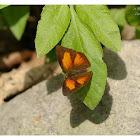 Cureetis dentata-male 尖翅銀灰蝶