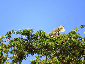 Photo: A big Green Iguana suns himself.