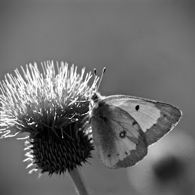 Butterfly on Thistle by Moe Cook - Black & White Flowers & Plants ( butterfly, thistle, butterflies, black and white, flowers, closeup, flower )