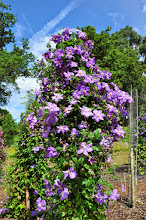 Photo: Clematis 'Victoria' habitus