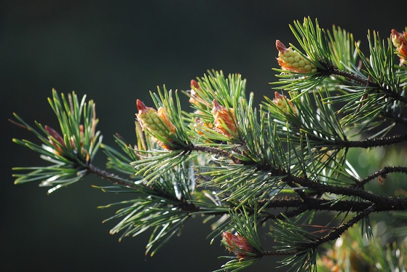 Rodzima sosna oferuje drewno jedno z najtańszych w Europie.