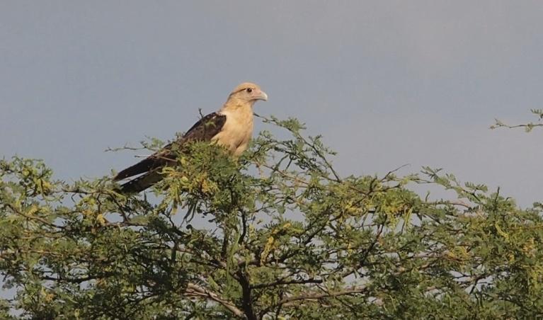 E:ARTICULOS PERIODISMO ECOLOGISTAARTICULO SAROCHE LISTOAves del Semiarido LarenseNo Passeriformes (24 familias)7. Falconidae (6 especies)b1.Milvago Chimachima.jpg