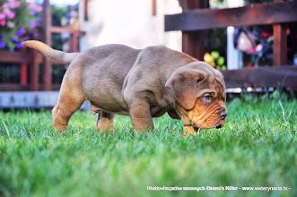 Photo: Hodowla psów rasowych Bears's Killer - www.weterynaria.tv -