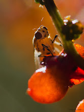 Photo: From this morning's walk: a fruit fly on some native berries  #MacroMonday