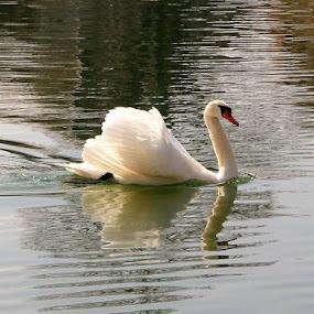 Swan by Tonia Hernandez - Animals Birds