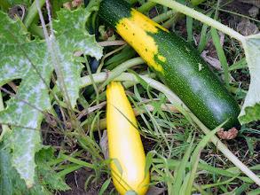Photo: Zielona cukinia zapylona żółtą cukinią 47