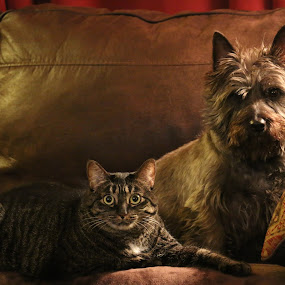 Gal Pals by Brent Monique Makenzie Moran - Animals - Dogs Portraits ( canon, canine, cat, 70d, domestic shorthair, terrier, cairn, feline, cairn terrier, dog, canon eos,  )