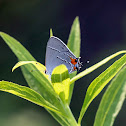 Gray Hairstreak