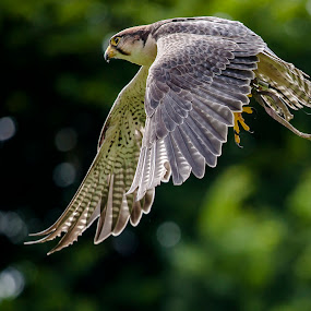 In Flight by Paul Richards - Animals Birds ( bird, flight, predator, flying, falcon, prey )