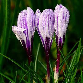 Crocus n00116 by Gérard CHATENET - Flowers Single Flower