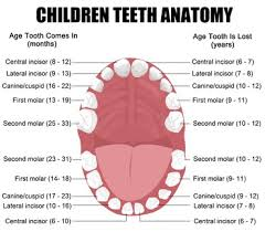 Image result for incisor teeth