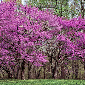 Redbuds by Hugh Hazelrigg - Nature Up Close Trees & Bushes ( nature, flora, trees, historical, public, flower )