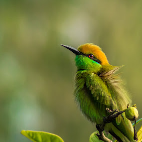 Cute in Green! by Shivaang Sharma - Novices Only Wildlife ( bird, nature, avian, bee, wildlife, india, eater, animal,  )