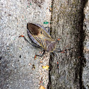 Mesquite bug