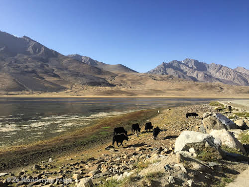 Pakistan Culture of the Kalash Valley Pakistan // Shandur National Park - Cows and Yaks on the High Altitude Valley