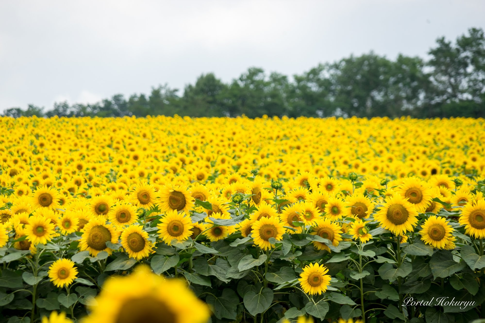 黄色のひまわりの絨毯