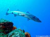 Photo: Grand Barracuda à Columbus Isle