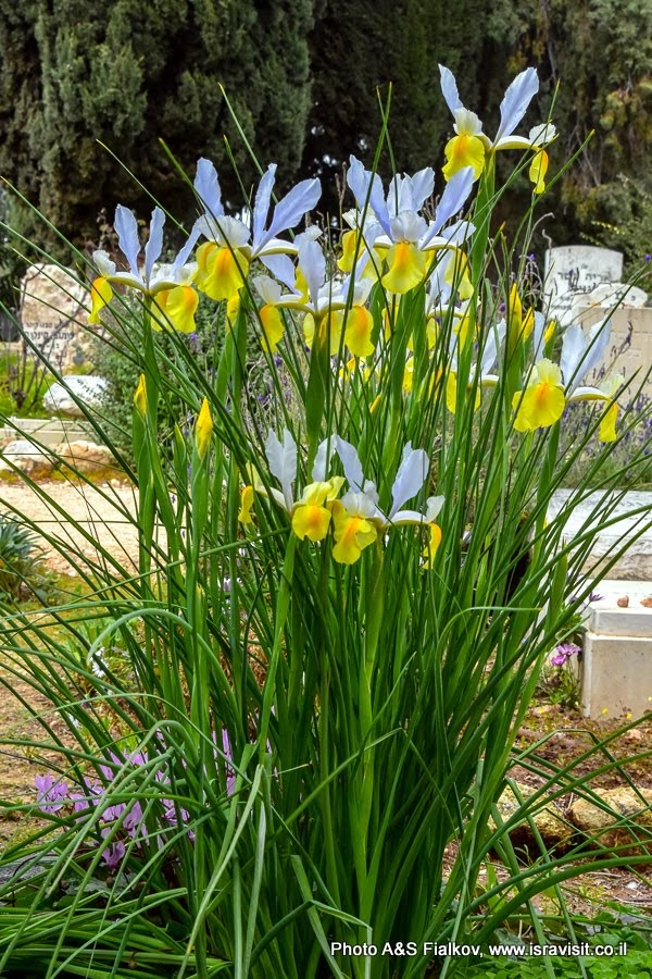 Ирисы на мемориале Трумпельдора в Израиле.